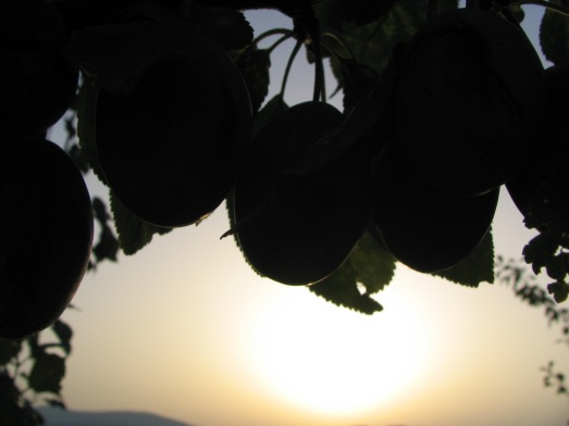 fruit in sun